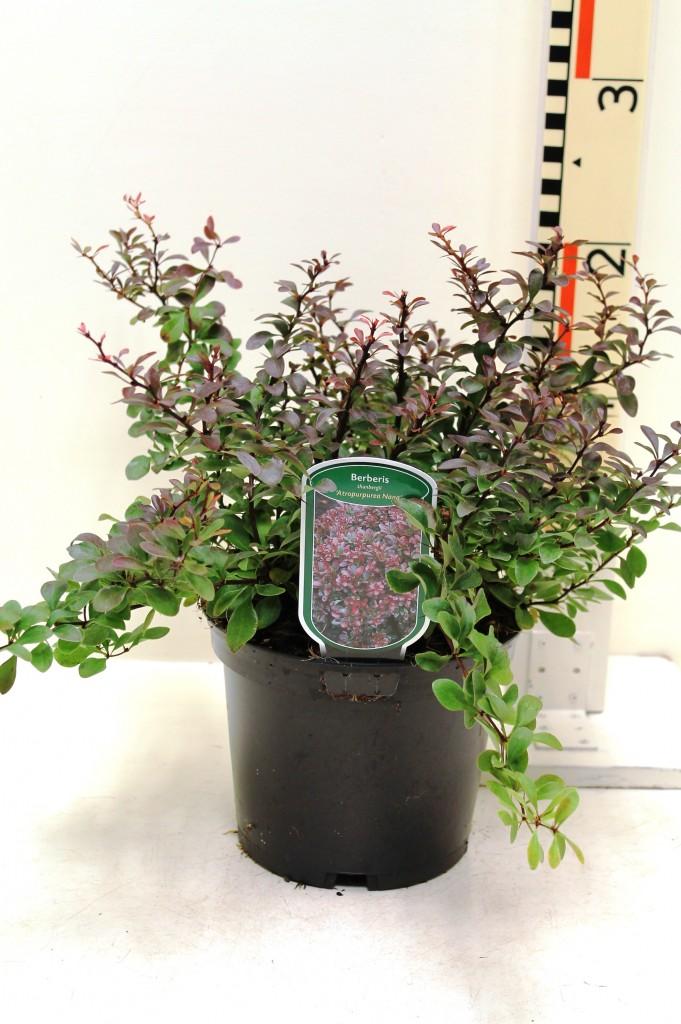 berberis thunb 39 atropurpurea nana 39 boomkwekerij coonen. Black Bedroom Furniture Sets. Home Design Ideas