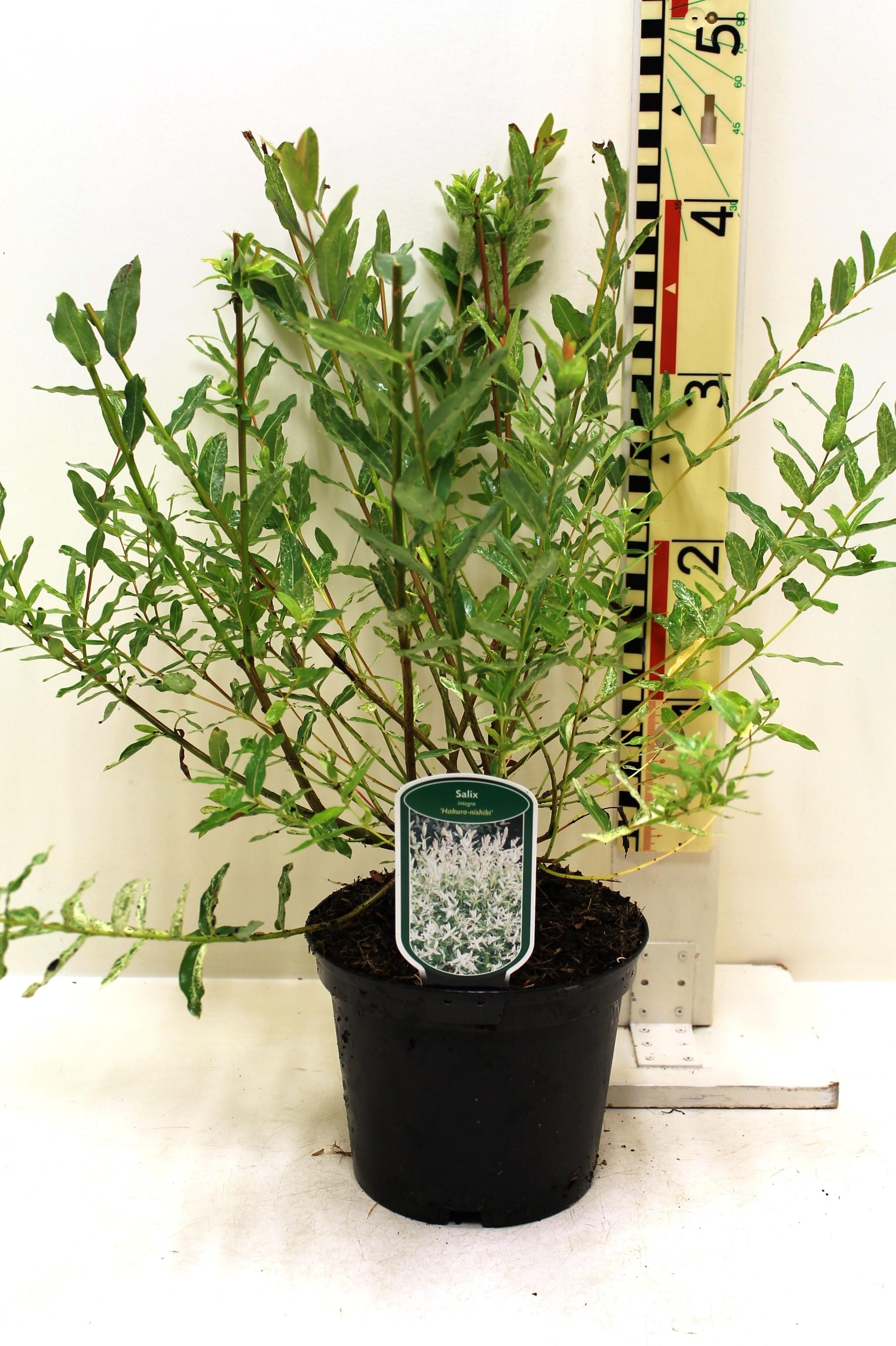 Salix integra 39 hakuro nishiki 39 boomkwekerij coonen - Salix hakuro nishiki taille ...