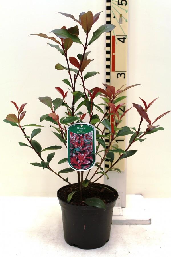 Photinia fraseri 39 carr rouge 39 boomkwekerij coonen - Photinia fraseri carre rouge ...