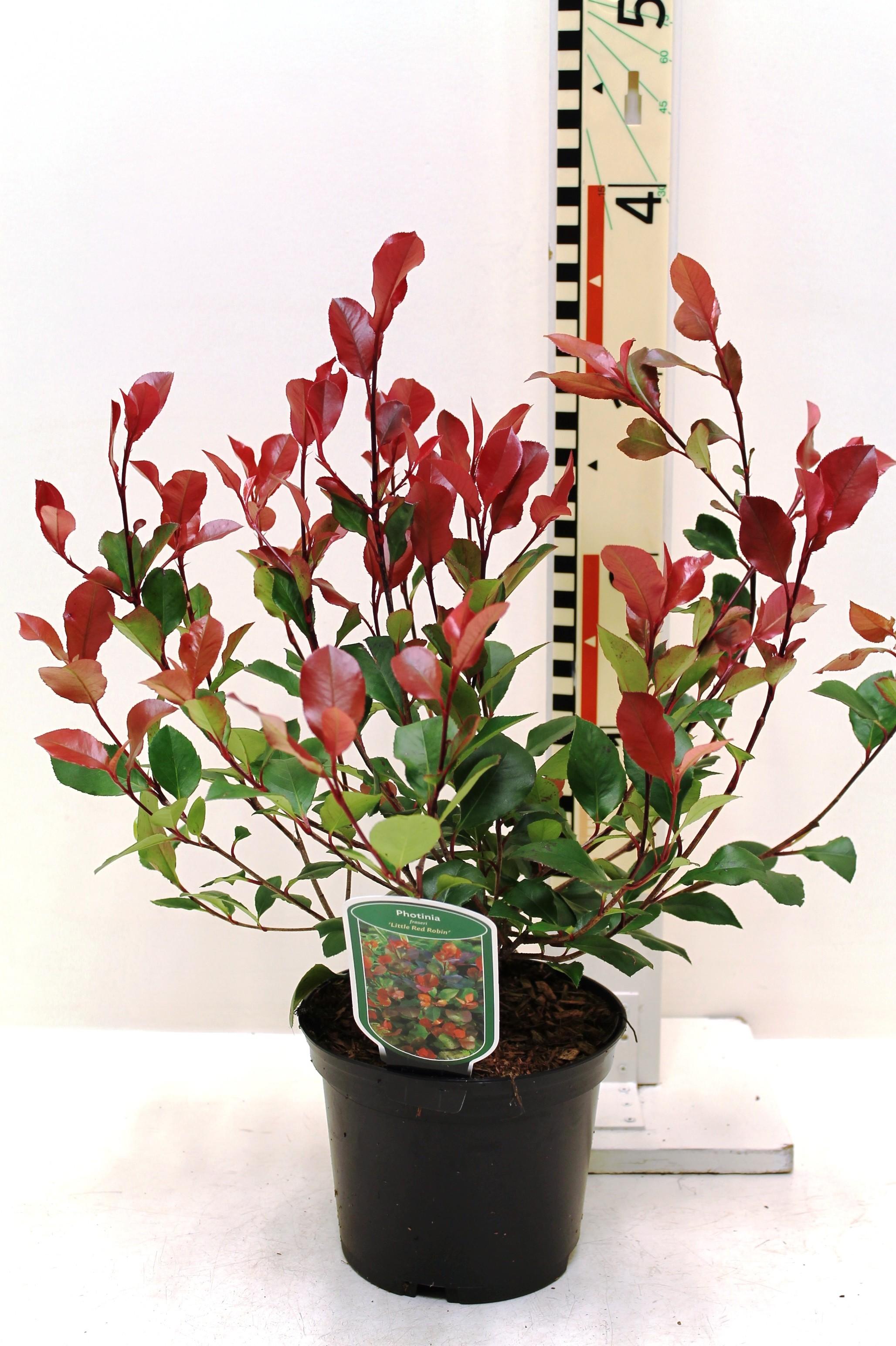 photinia fraseri 39 little red robin 39 boomkwekerij coonen. Black Bedroom Furniture Sets. Home Design Ideas