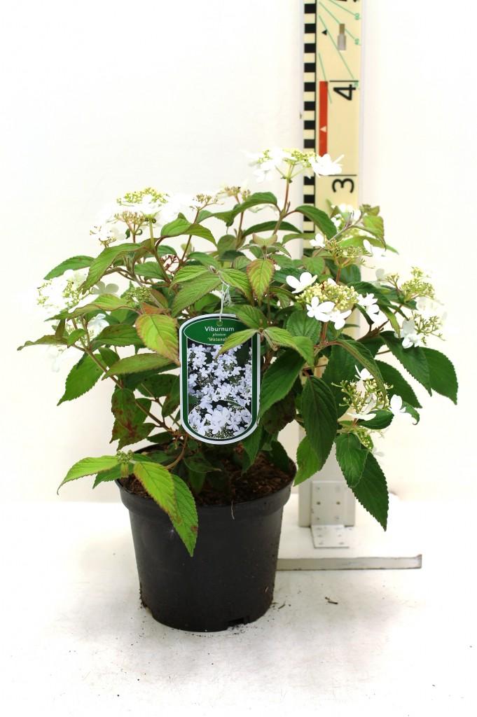viburnum plicatum 39 watanabe 39 boomkwekerij coonen. Black Bedroom Furniture Sets. Home Design Ideas