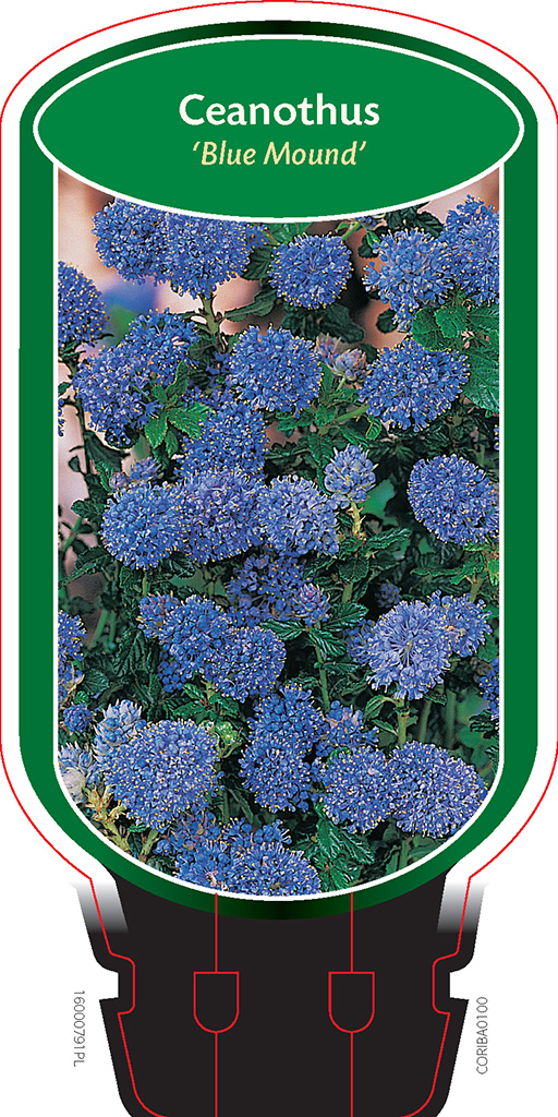 ceanothus 39 blue mound 39 boomkwekerij coonen. Black Bedroom Furniture Sets. Home Design Ideas