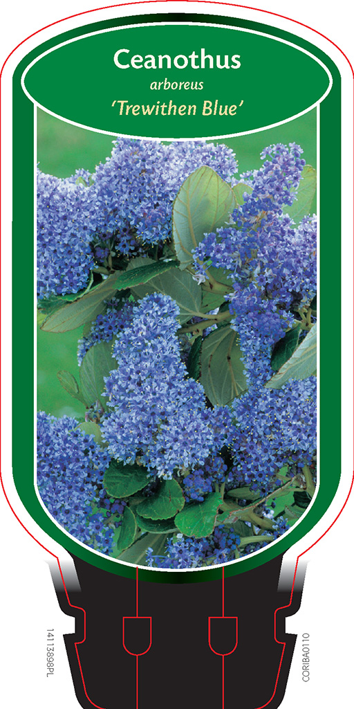 ceanothus arboreus 39 trewithen blue 39 boomkwekerij coonen. Black Bedroom Furniture Sets. Home Design Ideas