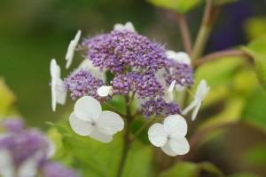 HydrangeaGoldrushflowers01_preview